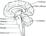 The roots of consciousness theory the biological perspective cross section of the human brain ccuart Images